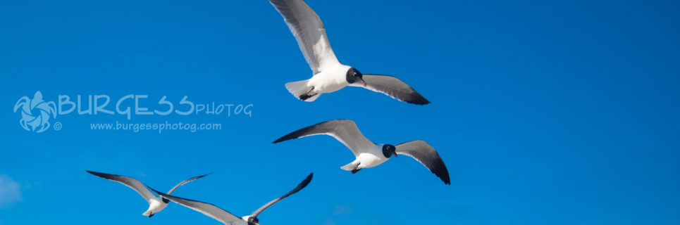 Six Sea Gulls flying in open clear blue sky; color photo by Charles Burgess of BURGESS photog; www.burgessphotog.com; All Rights Reserved