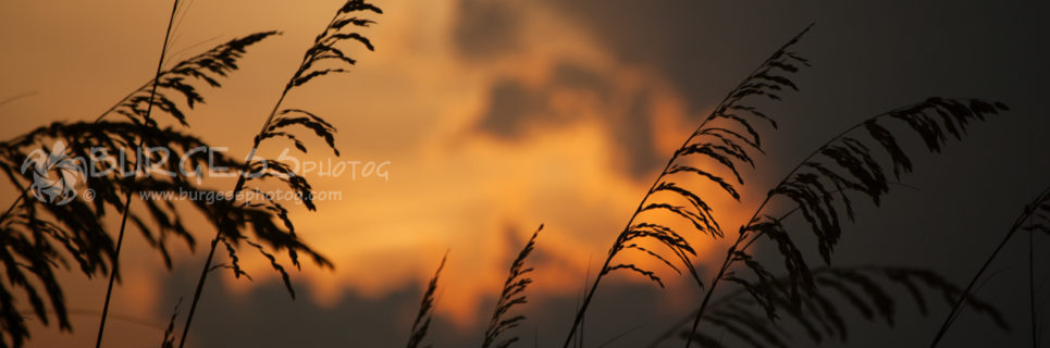 Sea Oats At Sunset; Sea oats are silhouetted by a dramatic amber and orange colors;sunset near Pensacola Beach, Florida; color photo by Charles Burgess, of BURGESS photog; www.burgessphotog.com; All Rights Reserved.